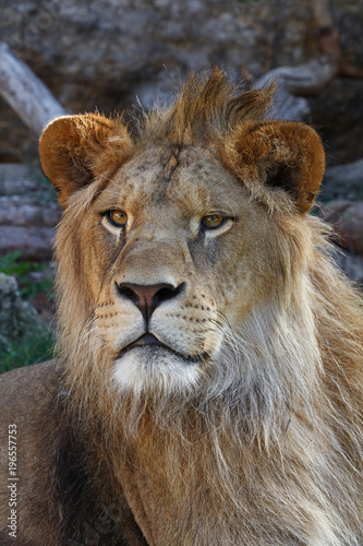Fotobehang Lion Close up portrait of young male African lion