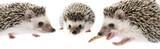 Four-toed Hedgehog (African pygmy hedgehog) - Atelerix albiventris - 196557991