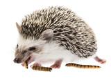 Four-toed Hedgehog (African pygmy hedgehog) - Atelerix albiventris - 196558152