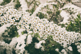 a l spring shrub with small delicate delicate white flowers - 196563999
