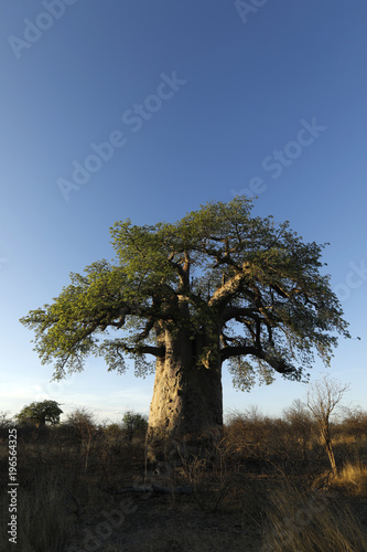 Foto op Plexiglas Baobab Baobab in afternoon light