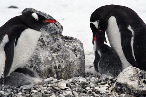 Papiers peints Antarctique Adelie Penguin feeding her Chick, Antarctica