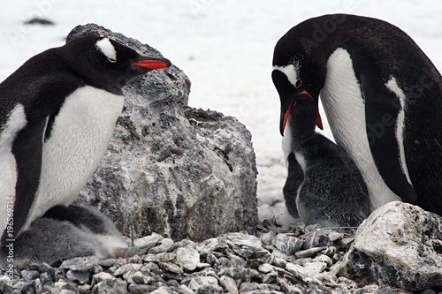 Foto op Aluminium Antarctica Adelie Penguin feeding her Chick, Antarctica