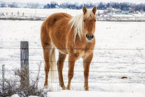Golden Horse in the Snow