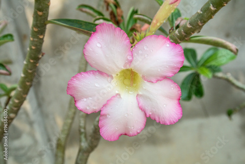 Plexiglas Thailand Adenium obesum is one of the most popular species of plants in Thailand. Because of beautiful and sweet name and tolerate the drought very well