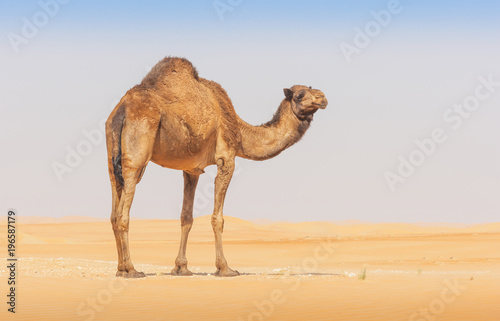 obraz PCV A camel in the Empty Quarter