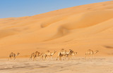 Camels in the Empty Quarter