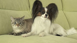 Dog Papillon with cat Thai relationship - 196588307