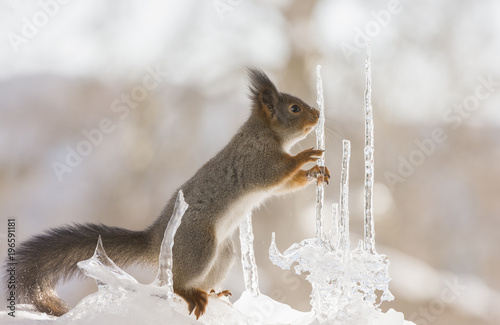 Wall mural red squirrel holding a icicle and looking away