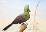 Турако птица
