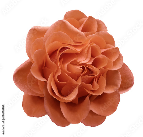 Poster Baksteen Red rose flower on a white isolated background with clipping path.Closeup no shadows. Nature.