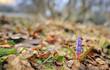 Wild spring violet flowers