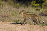 Fototapeta Female leopard with an eye problem in Sabi Sands Game Reserve, part of the Greater Kruger Region, in South Africa