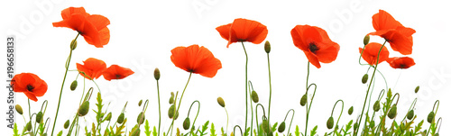 Poster Red poppy flowers isolated .