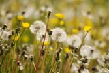 Dandelions on a field in summer