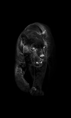 black panther walking out of the dark into the light