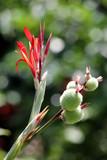 Indisches Blumenrohr (Canna indica) - 196659968