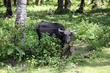 in einem Wald angebundene Kuh - 196660334