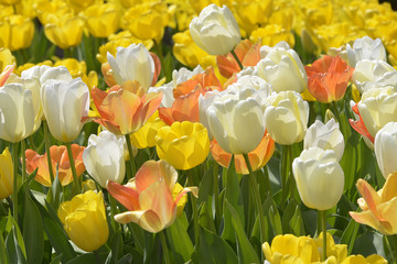Cultivated of white and yellow tulips (Tulipa)