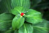 rote Blüte des Ingwergewächs Costus woodsonii - 196660931