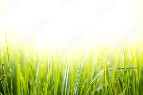 Foto op Plexiglas Lime groen Rice field with dew drop