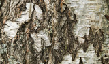 Texture,background, birch, closeup / The trunk of a birch bottom .Birch bark texture, natural background close up