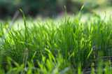 sprouted young green spring grass - 196676107