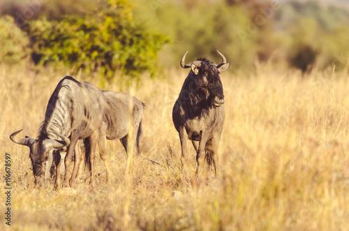 Wall mural Wildebeest