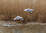 Synchronous flight of two gulls .... - 196679739