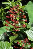 Losbaum Mussaenda frondosa - 196680717