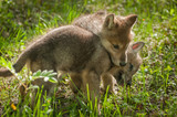 Grey Wolf (Canis lupus) Pup Jumps on Sibling