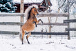 Red pony sports on snow in winter