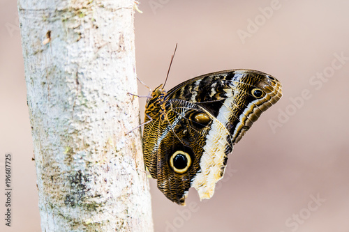 Fotobehang Vlinder owl butterfly showing off wing defensive costa rica, central america
