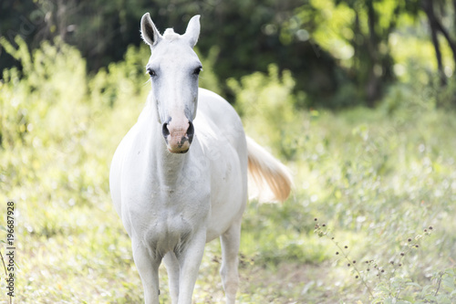 White horse on a Costa Rica field
