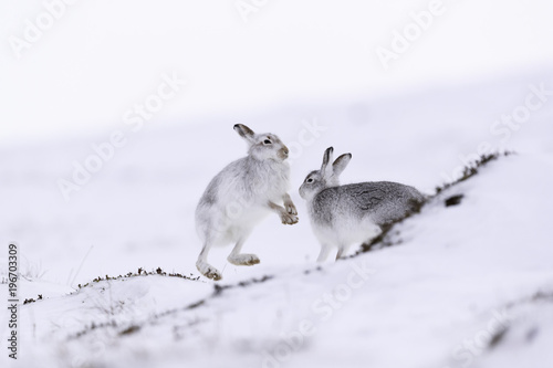 Plexiglas Kangoeroe Boxing mountain hares. White mountain hare sitting on snow in the cairngorms of Scotland. These are wild mountain hares and are native to the British Isles.