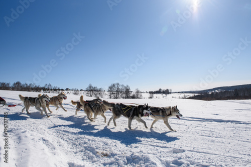 Foto op Plexiglas Antarctica 2 Dogs run in harness in winter in sunny weather.