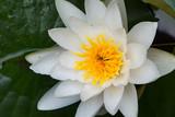 weiße Seerose mit gelben Stempel, Wasser Tropfen und Schwebe Fliege als Nahaufnahme
