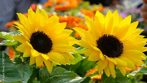 Beautiful yellow sunflower in the sun