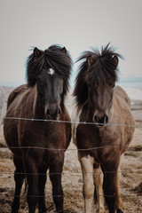 best friends, icelandic horses