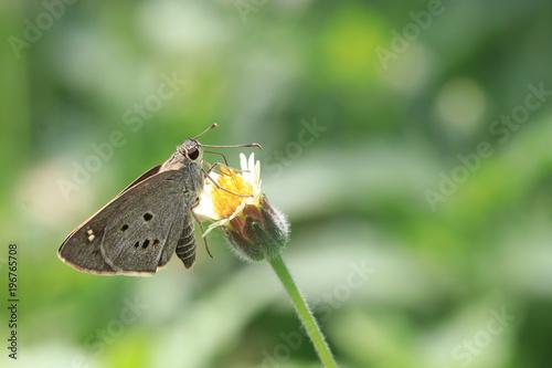 Zamyka w górę th szarego motyla na kwiatach i zieleni tle białych i żółtych