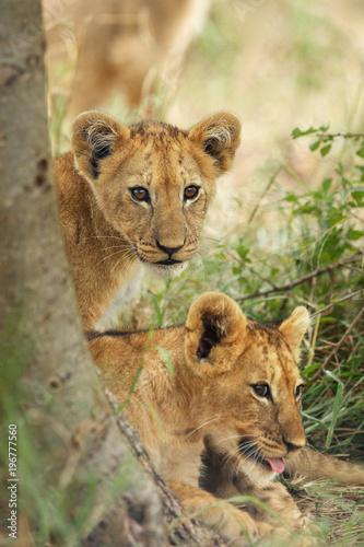 Plexiglas Lion The Southern African lion (Panthera leo melanochaita). Portrait of the lions cub.