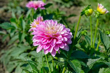 Dahlia on background of flowerbeds. Focus on flower.