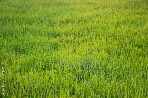 Fotobehang Rijstvelden Background image of lush rice field