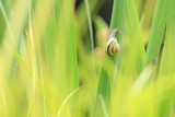 Close up of grove snail, brown-lipped snail (Cepaea nemoralis) breeding, mating, feeding and climbing green reeds. - 196787737
