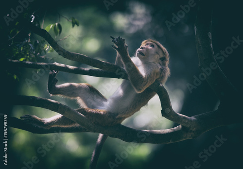 Fotobehang Aap Monkey ( Macaca Sinica) from Sri Lanka hanging on tree