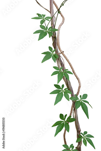 twisted jungle vines with green leaves of wild morning glory or