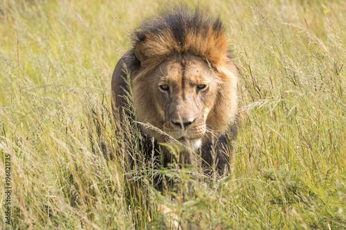 Plexiglas Lion Lions of the grasslands of Africa.