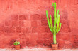 Green cactus against the red wall