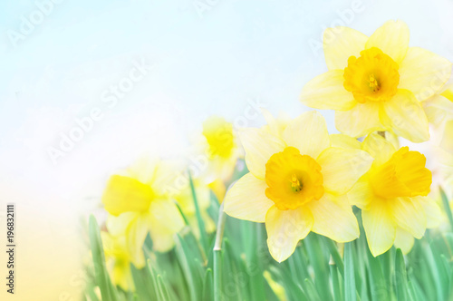 Spring blossoming yellow daffodils in green grass, springtime blooming narcissus (jonquil) flowers, selective focus, shallow DOF