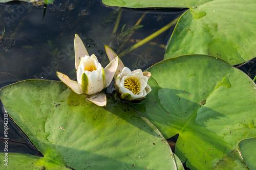 Fototapeta Growing water lilies on the water.